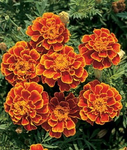Marigold for pink eyes